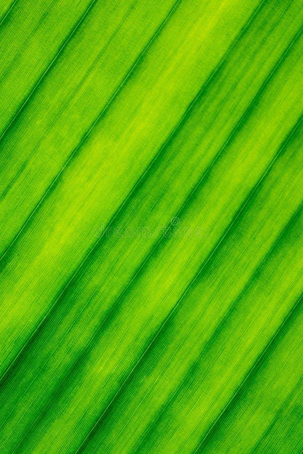 Textuur, Lijnen, Patroon van Banaanblad royalty-vrije stock fotografie