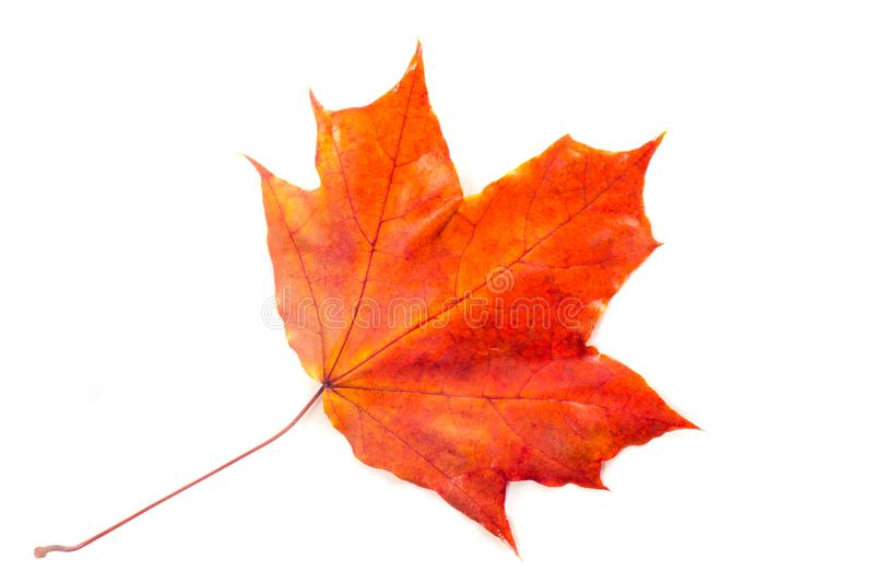 Textuur, patroon, achtergrond De herfstbladeren op een boom, Esdoornweiland royalty-vrije stock afbeelding