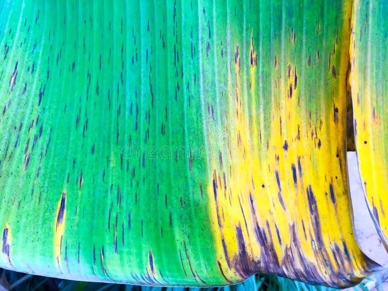 Textuur van banaan groene bladeren Het oude banaanblad, schijnt als groene mengeling met donker en klein achter en geel punt royalty-vrije stock foto's