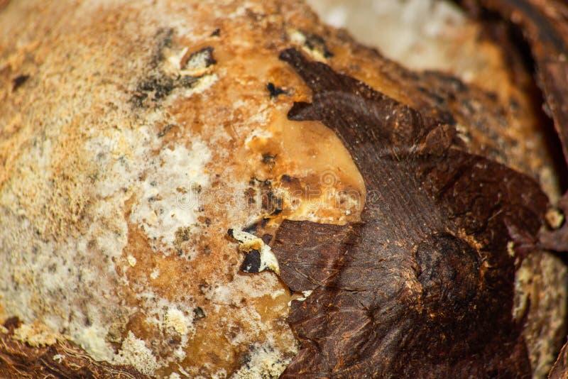 Textuur van bedorven kokosnoot stock afbeelding