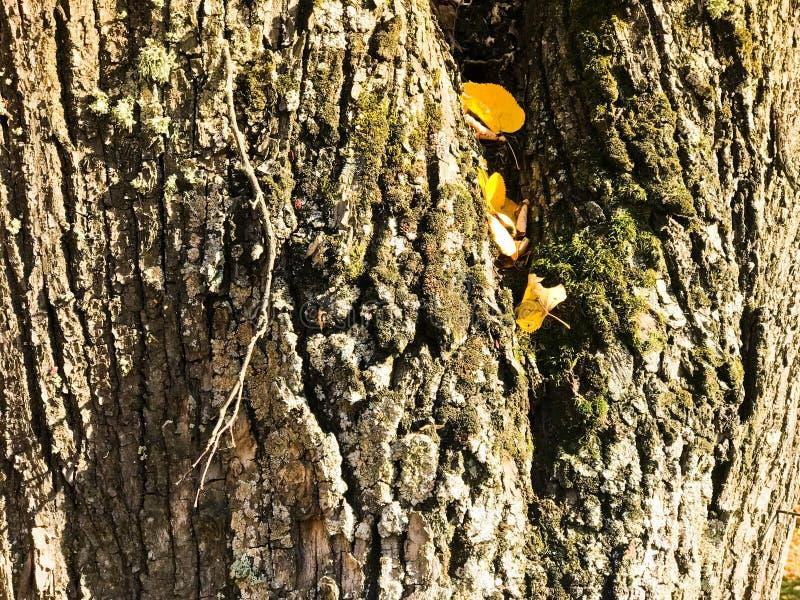 Textuur van bosrijke natuurlijke donkere schors met mos en barsten en gele bladeren De achtergrond stock fotografie
