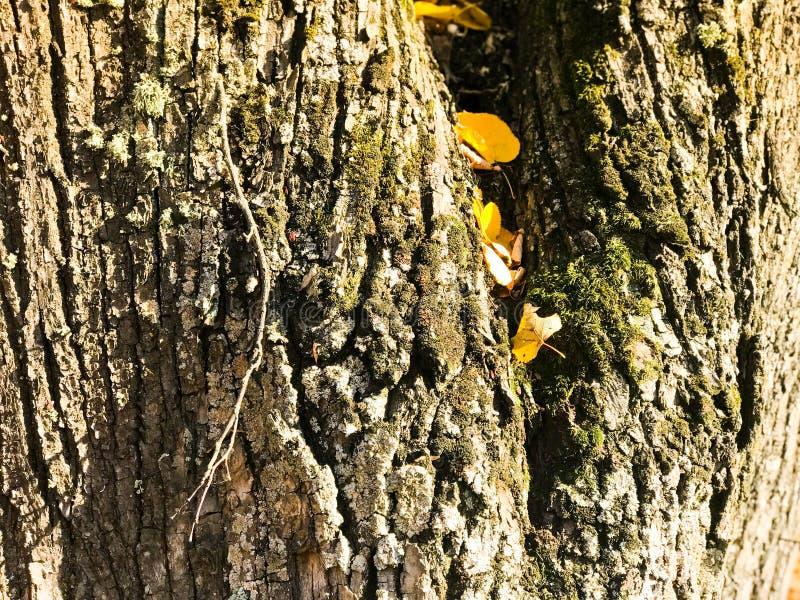 Textuur van bosrijke natuurlijke donkere schors met mos en barsten en gele bladeren De achtergrond royalty-vrije stock foto