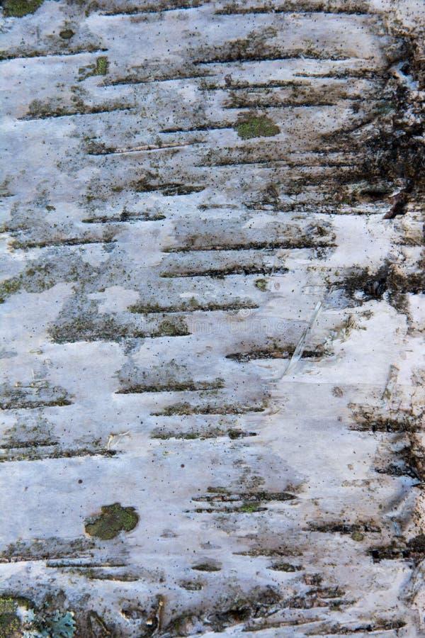 Textuur van de schors van de berkboom royalty-vrije stock fotografie