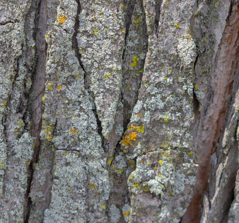 Textuur van de schors van een boom stock foto