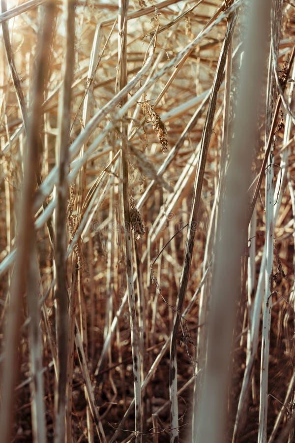 Textuur van droog lang gras tegen de zonsondergang royalty-vrije stock afbeelding