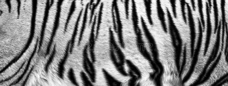 textuur van echte tijgerhuid, zwart-wit bont royalty-vrije stock afbeeldingen