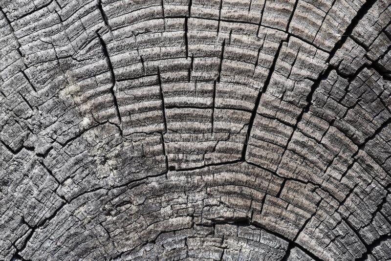 Textuur van een besnoeiing van een droog close-up van de boomboomstam stock foto
