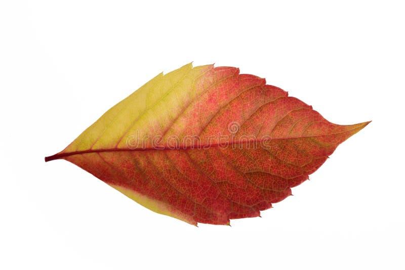 Textuur van een helder de herfst rood-geel blad van een boomclose-up stock afbeelding