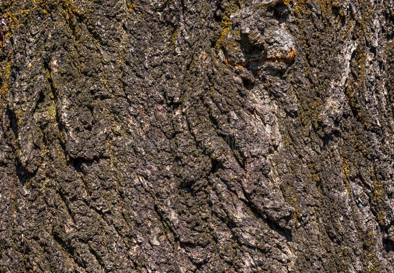 Textuur van een schors van de abrikozenboom royalty-vrije stock foto