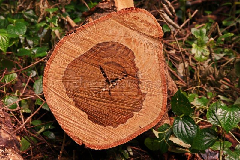 Textuur van eeuwigdurende boom wanneer besnoeiing als dwarsdoorsnede stock foto