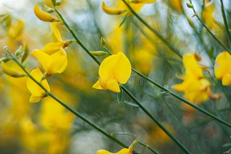 Textuur van gele die gebiedsbloemen, in het hout wordt gevangen royalty-vrije stock afbeelding