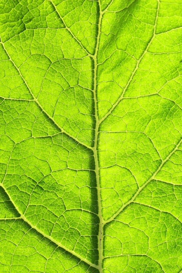 textuur van groen blad met aders stock afbeelding