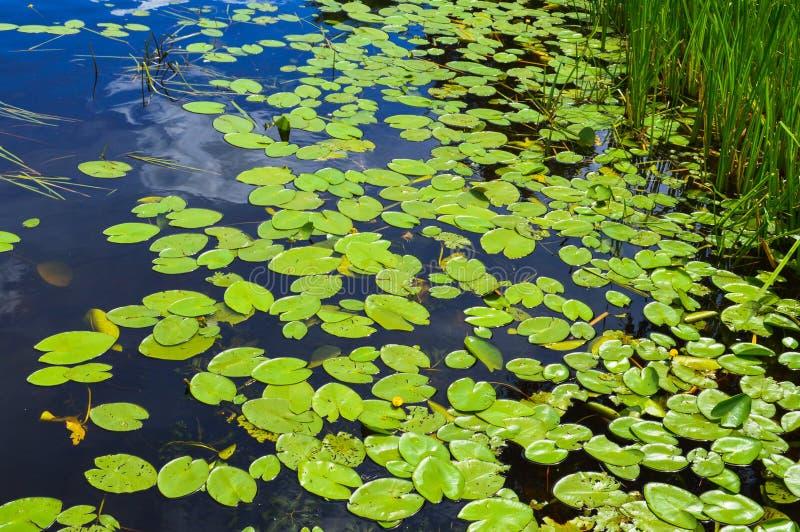 Textuur van het water van de meerrivier met groene bladeren van lelieinstallaties, de achterachtergrond van blauw zuiver natuurli stock foto