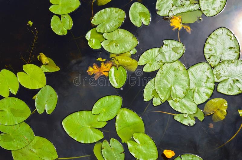 Textuur van het water van de meerrivier met groene bladeren van lelieinstallaties, de achterachtergrond van blauw zuiver natuurli stock afbeelding