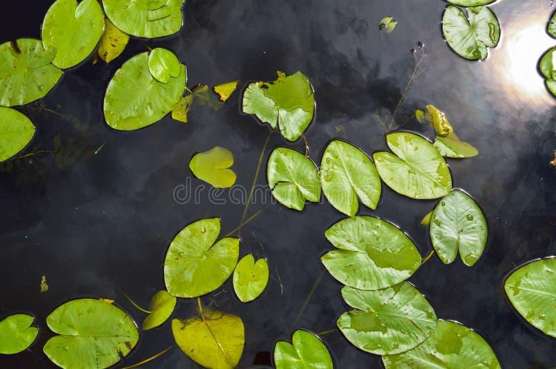 Textuur van het water van de meerrivier met groene bladeren van lelieinstallaties, de achterachtergrond van blauw zuiver natuurli stock fotografie