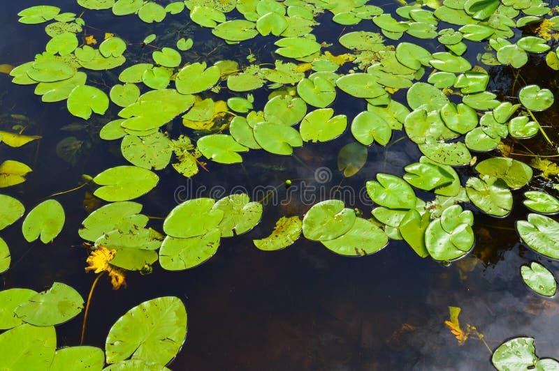 Textuur van het water van de meerrivier met groene bladeren van lelieinstallaties, de achterachtergrond van blauw zuiver natuurli royalty-vrije stock foto's
