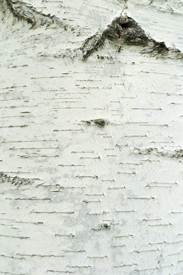 Textuur van natuurlijke berkeschors Witte berkboom met zwarte strepen en een knoop De structuur van de boom stock afbeeldingen