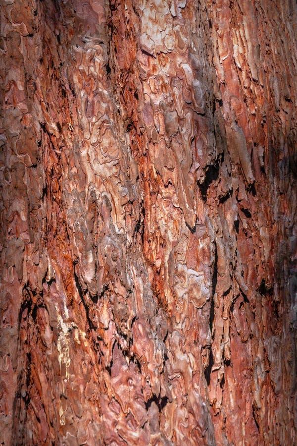 Textuur van natuurlijke pijnboomschors op de boomboomstam royalty-vrije stock afbeeldingen