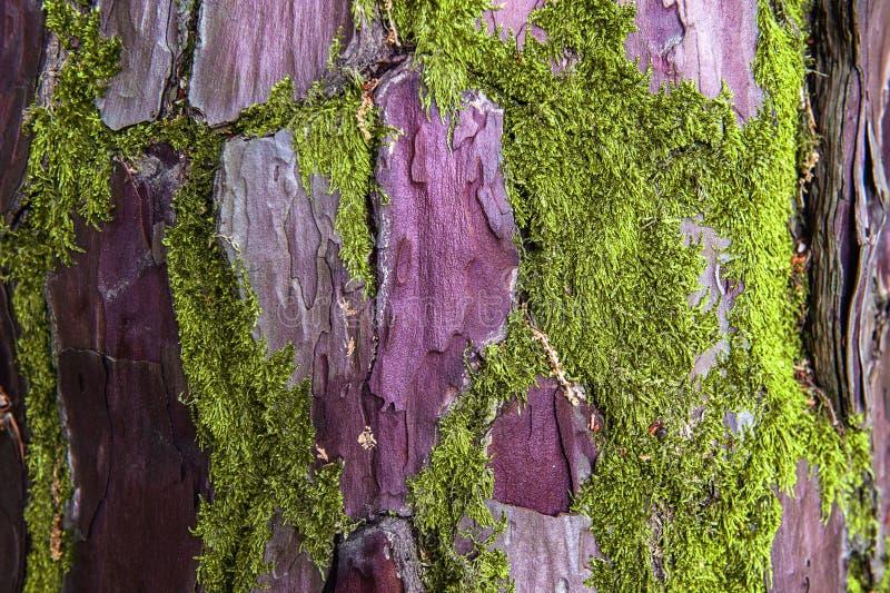 Textuur van oud gerimpeld lederhout De boomschors is beschadigd door groene mos-struiken Floral-tweetonige textuur Selectieve foc royalty-vrije stock fotografie