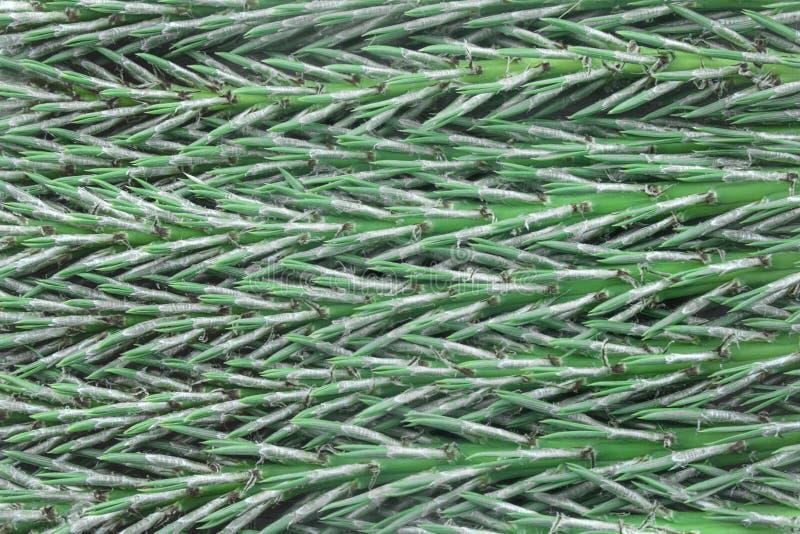 Textuur van pijnboomnaalden van cederboom stock afbeelding