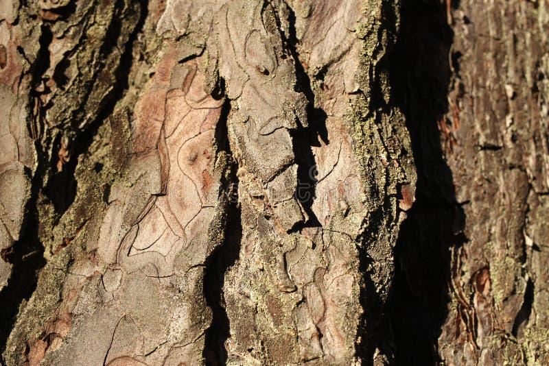 Textuur van schors van een boom, pijnboom stock afbeeldingen
