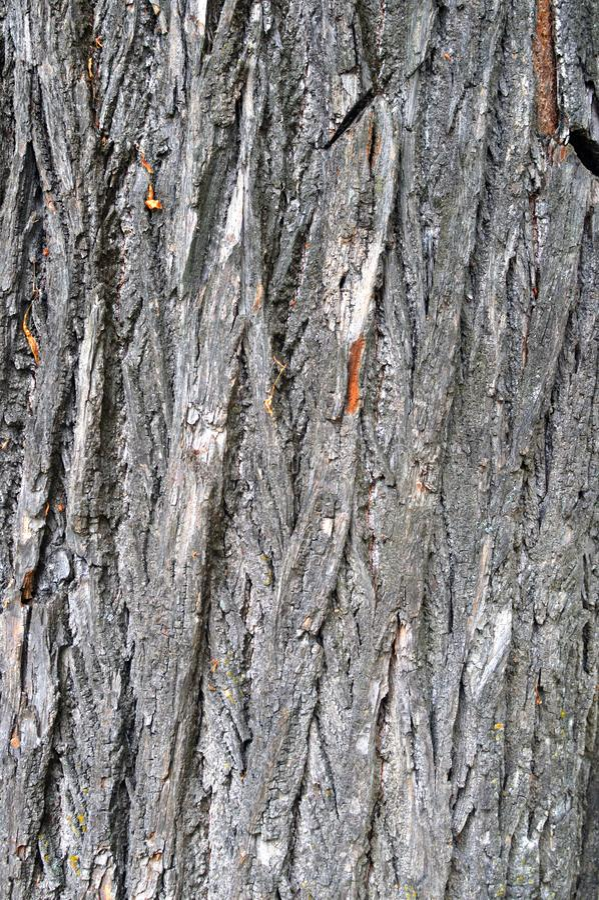 Textuur van schors van een oude grote boom stock foto