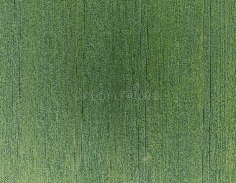 Textuur van tarwegebied Achtergrond van jonge groene tarwe op F stock foto's