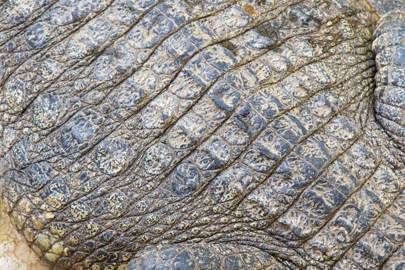 Textuurfoto van levende krokodilhuid, natuurlijk dierlijk patroon royalty-vrije stock afbeelding