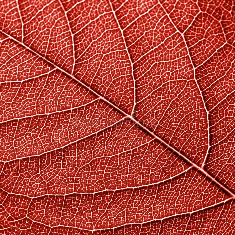 Texured natural veined leaf pattern background for layout in a color of the year 2019 Living Coral. Macro photo. Top. Skeleton of natural leaf, pattern of leaves stock photo