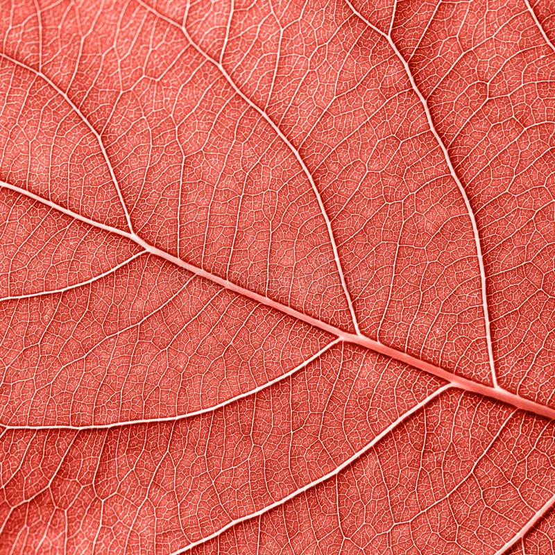 Detailed macro photo of leaf with veins n a color of the year 2019 Living Coral pantone. Natural background for your stock photography