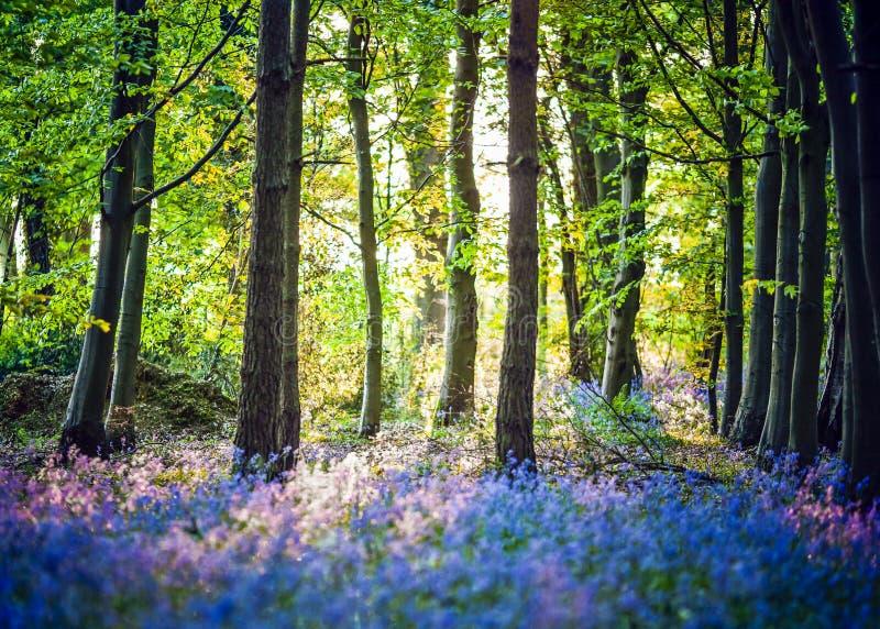 Thème de forêt de ressort avec des jacinthes des bois images stock