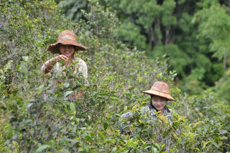 Thé de cueillette en Birmanie photographie stock libre de droits