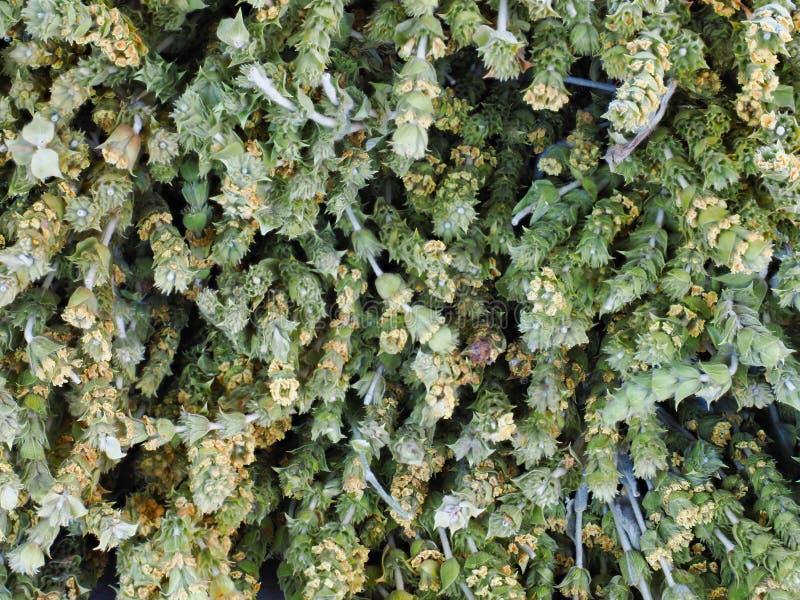 Thé de montagne sauvage de Herbal, Grèce images libres de droits