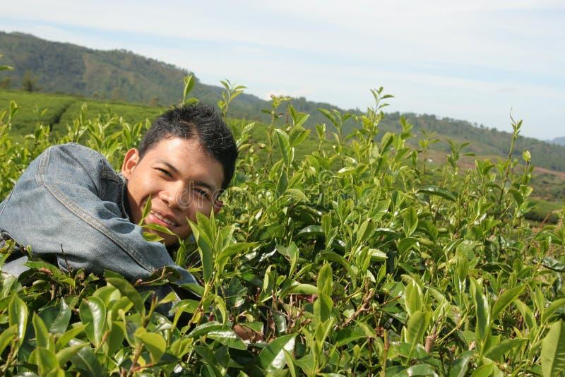 thé de plantation d'homme image stock