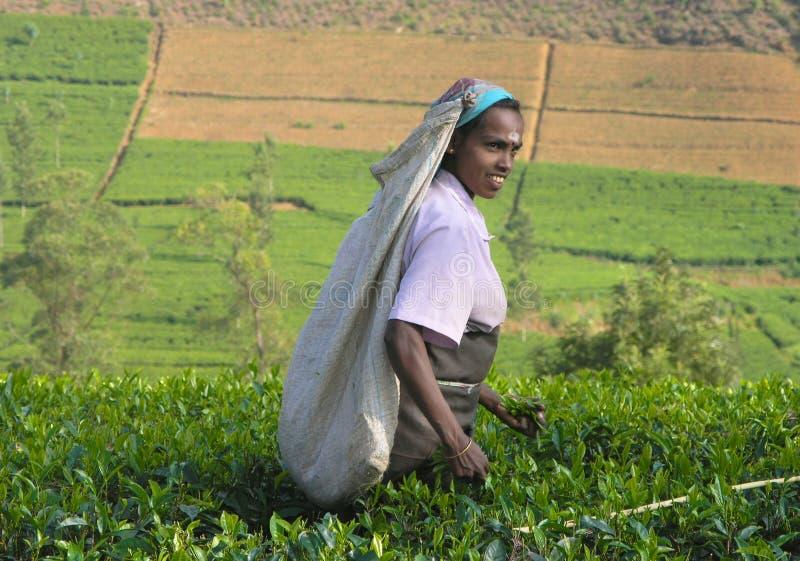 Thé plumant dans l'Inde du sud image stock