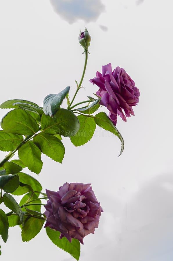 Thé pourpre Rose Blooms photographie stock libre de droits