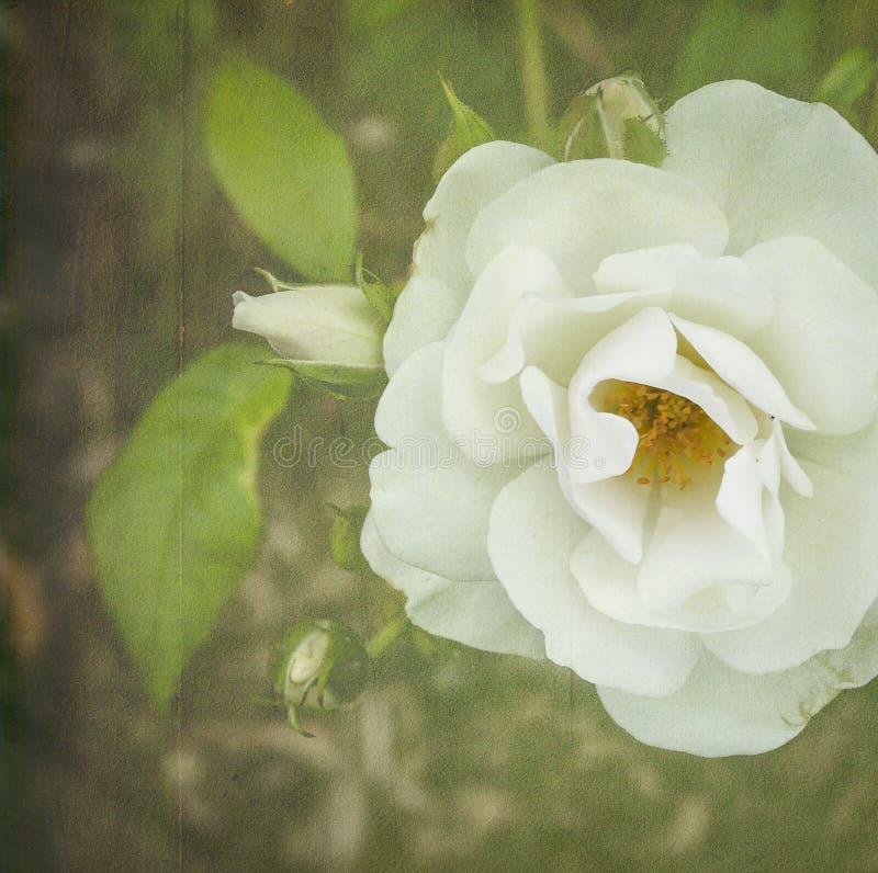 Thé Rose blanc illustration stock