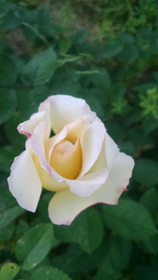 Thé Rose hybride de réception en plein air photos stock