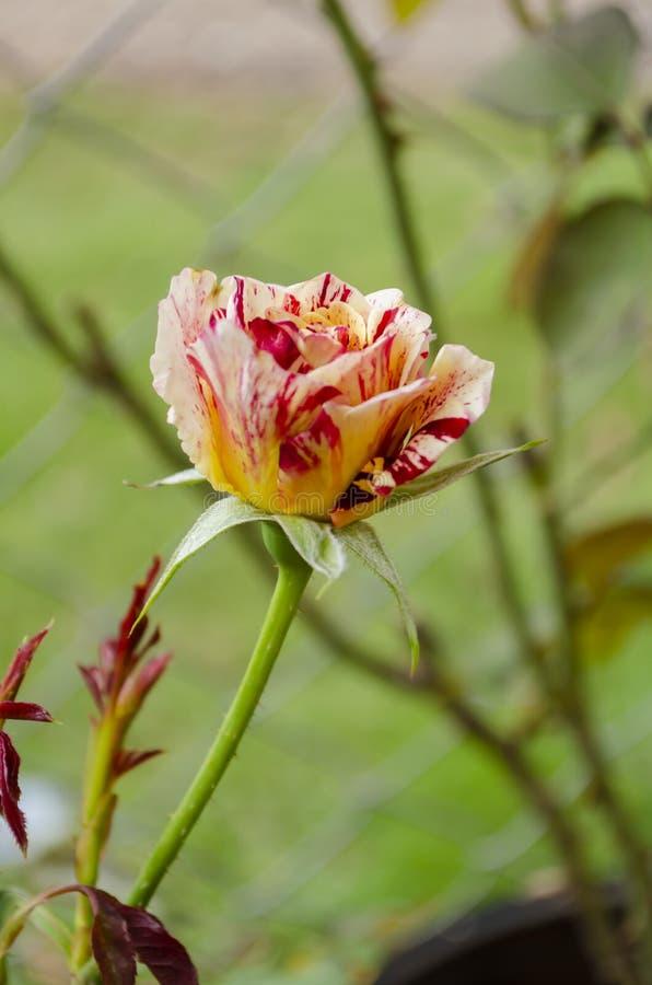 Thé varié de floraison Rose Flowers photographie stock