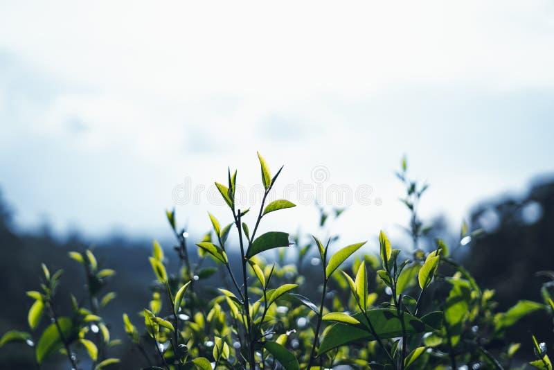 Thé vert, arbre de thé, feuilles de thé, feuille foncée de thé d'Assam photos stock