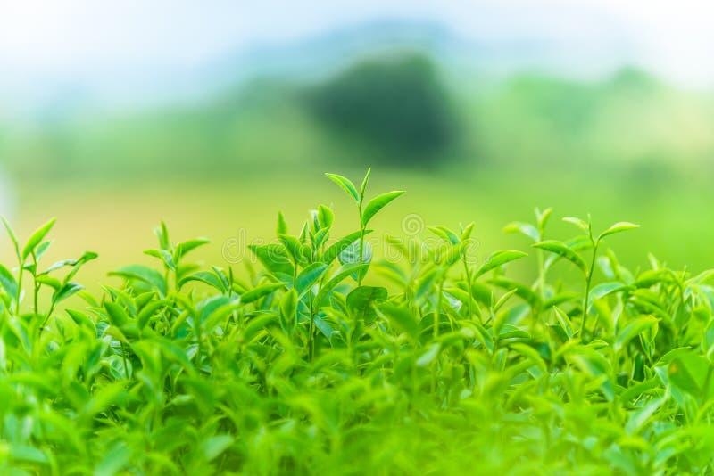 Thé vert et feuilles fraîches photo stock