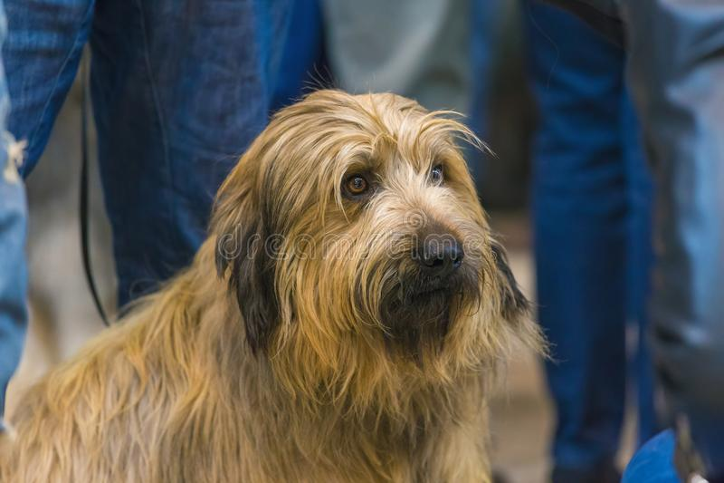 22th国际狗展示希罗纳2018年,西班牙,加泰罗尼亚的护羊狗 免版税库存照片