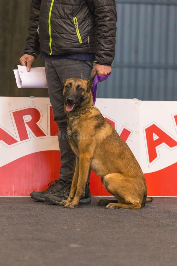 22th国际狗展示希罗纳2018年,西班牙,比利时牧羊人 免版税库存图片
