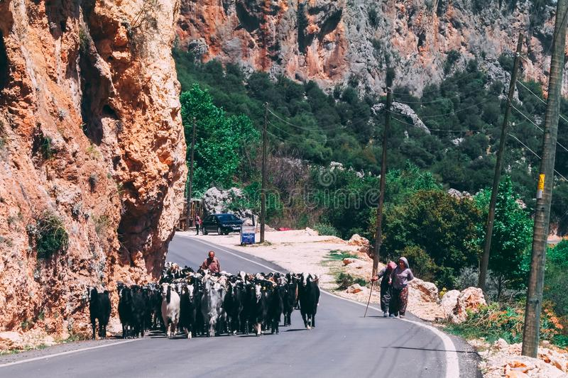 29th April 2017- Geyikbayiri, Turkey: Herd of goats walking on the road with shepherd behind them royalty free stock image