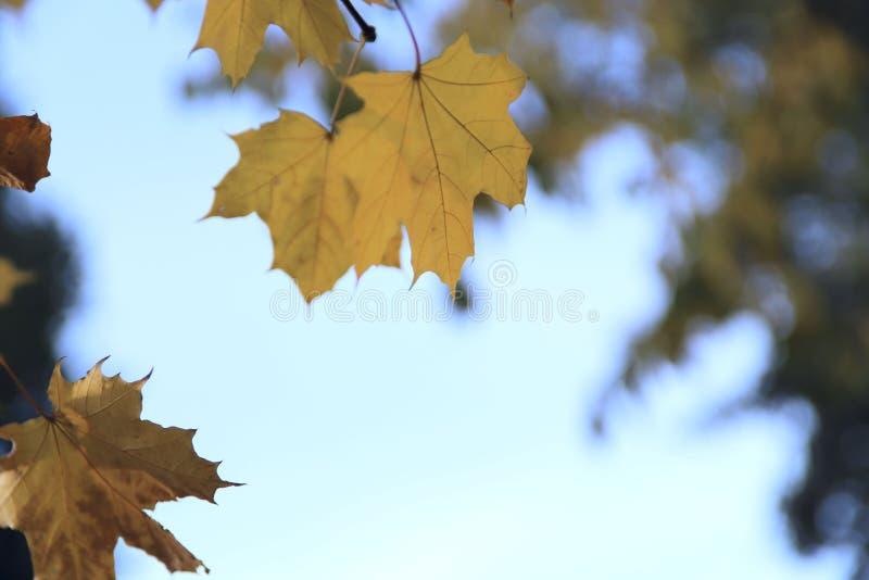 Th?me d'automne Branche d'érable avec les feuilles jaunes un jour ensoleillé contre le ciel images stock