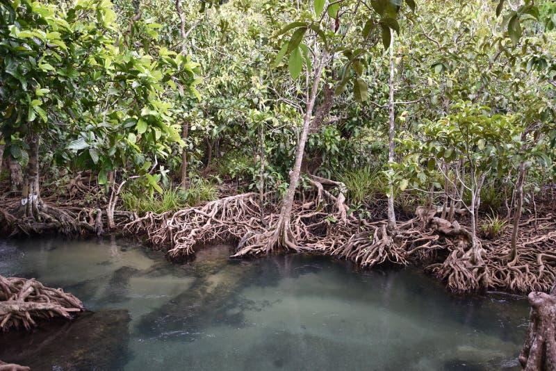 Tha Pom Klong Song Nam, una riserva nazionale della mangrovia fotografia stock
