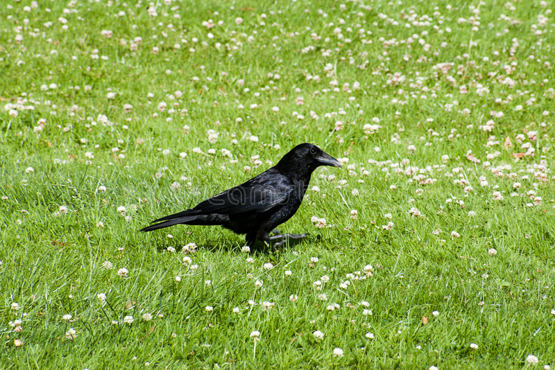Download Tha raven or crown stock image. Image of lawn, grey, flight - 5754453