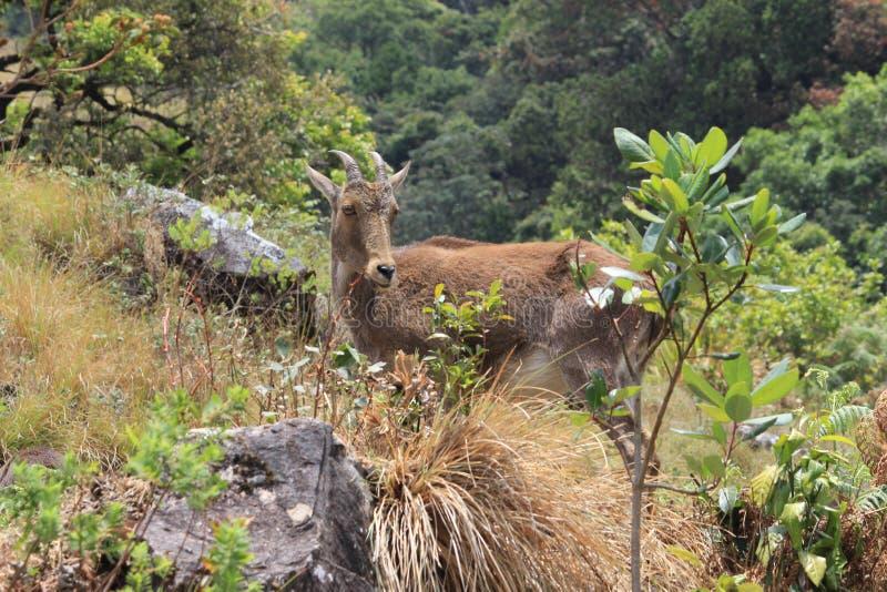 Thahr de Nilgiri photo stock