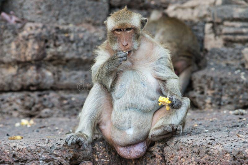 Thai asian wild monkey doing various activities. Taken outdoor on a sunny day stock photography