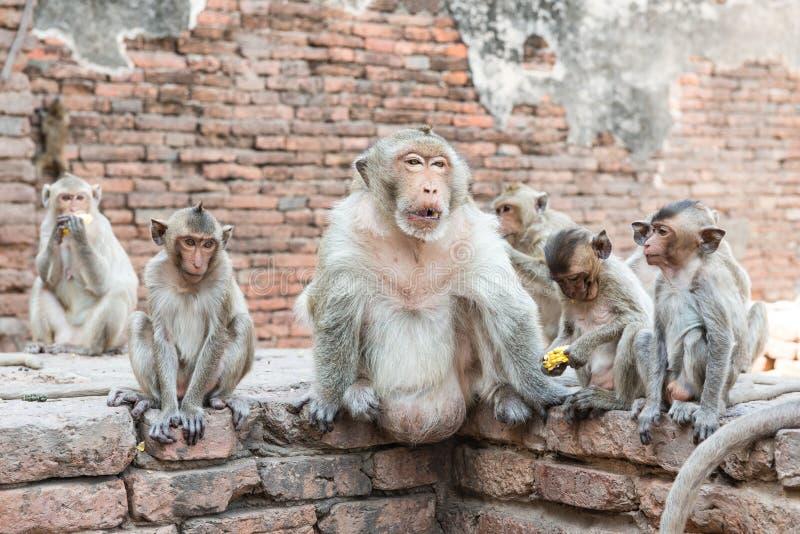 Thai asian wild monkey doing various activities. Taken outdoor on a sunny day stock image